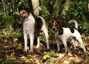 Foxterrier und Jack Russell Terrier - Copyright Antje Heller