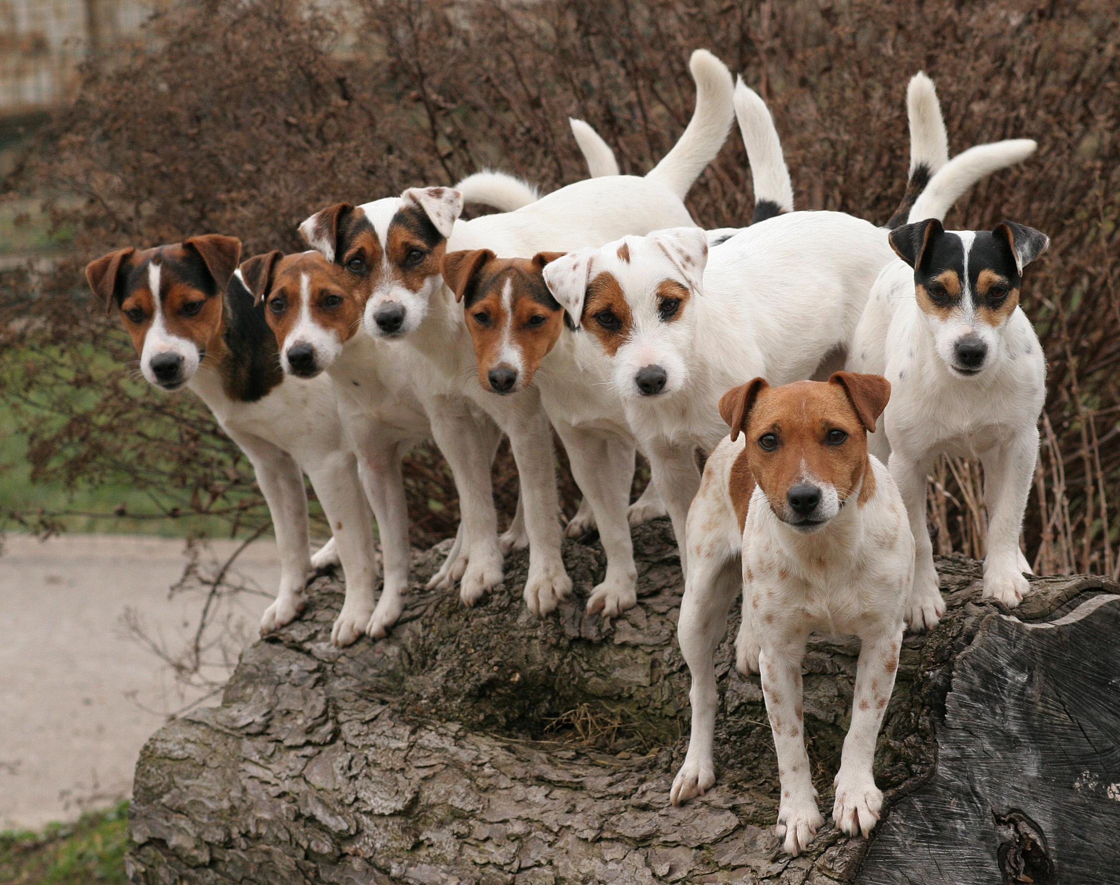 PRT oder JRT? Parson (Jack) Russell Terrier