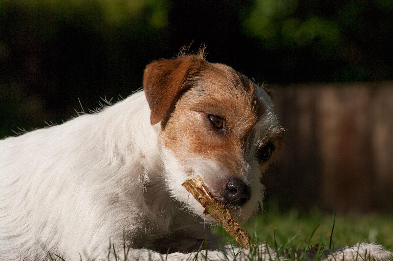 Futter + Inhalte Parson (Jack) Russell Terrier